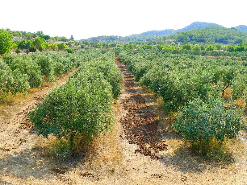 Plantación de Joan Benet, en Ibiza