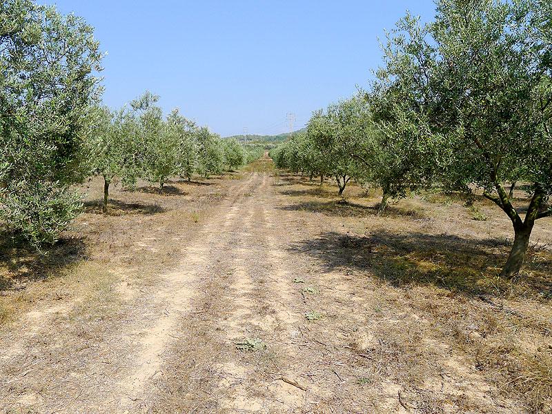 Olivos de la variedad arbequina