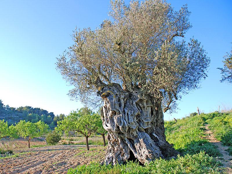 Na Cans, el olivo más antiguo de la finca Can Benet, en Ibiza